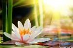 background lotus flower 124857454